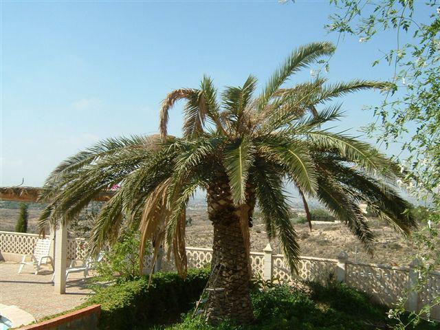 Imatge de palmera afectada pel morrut de les palmeres (Rhynchophorus ferrugineus)
