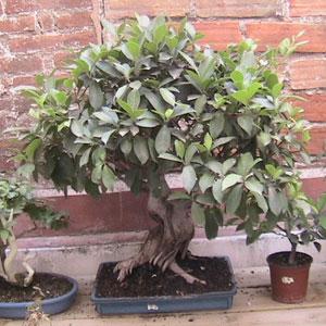Esplicarme como cuidar un bonsai yahoo respuestas - Como cuidar un bonsai ...